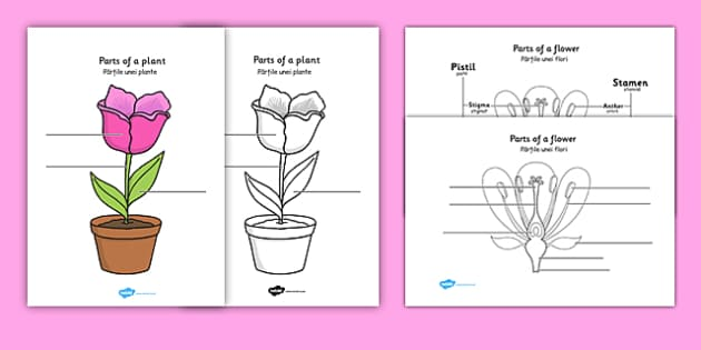 Parts of a plant and flower labelling worksheet romanian ccuart Images