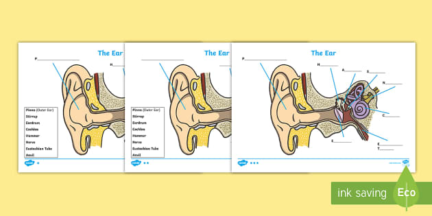Ear Diagram and Labeling Worksheet / Worksheet
