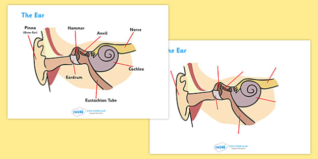 Ear Worksheets