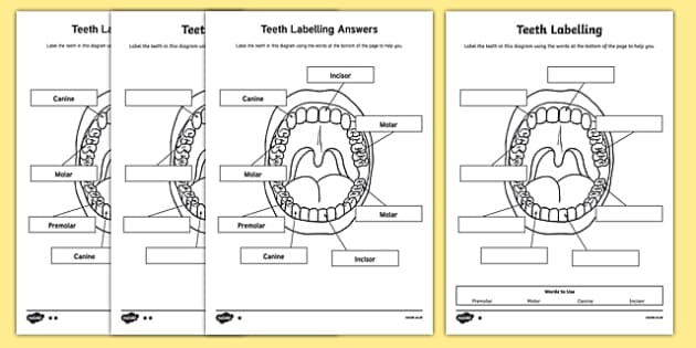 Teeth Labeling Worksheet Teaching Resource Twinkl