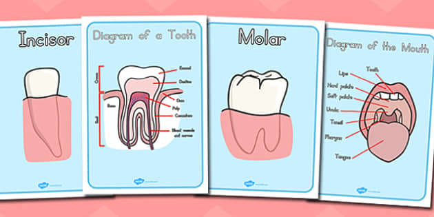 Teeth Diagram Display Posters Teethdiagram Eat Mouth