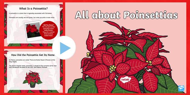 Ks1 Poinsettia Information Powerpoint Teacher Made