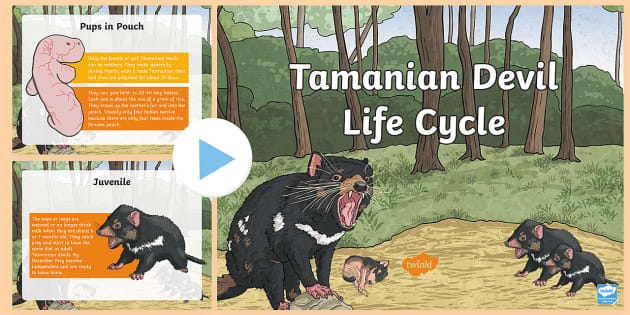The Pictures For Tasmanian Devil Life Cycle