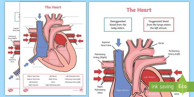 Ks2 Heart Diagram Qr Labelling Activity Teacher Made