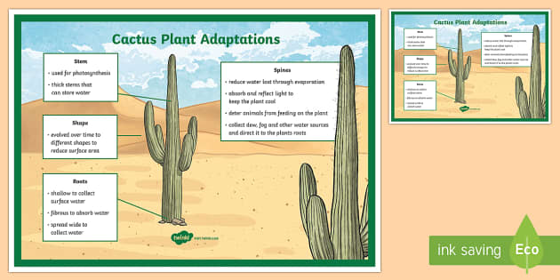 Translations Into Italian: Cactus Plant Adaptation Display Poster