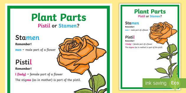 Plant Parts Pistil or Stamen Mnemonic Display Poster